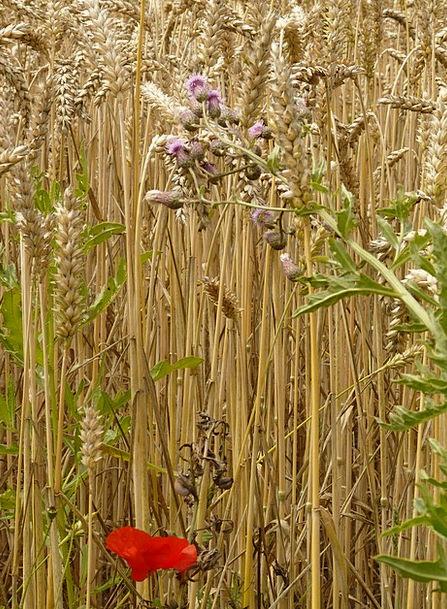 Spike Point Landscapes Nature Cereals Mueslis Whea