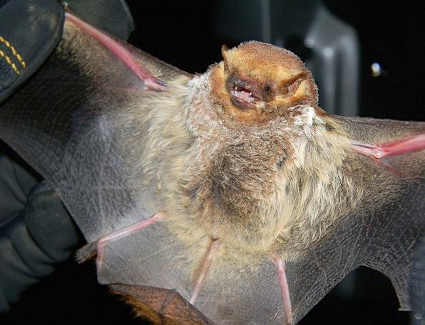Bat Racket Large Big Seminole Bat Mammal Creature