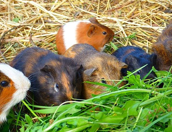 Guinea Pig House Guinea Pig Cavia Porcellus Family