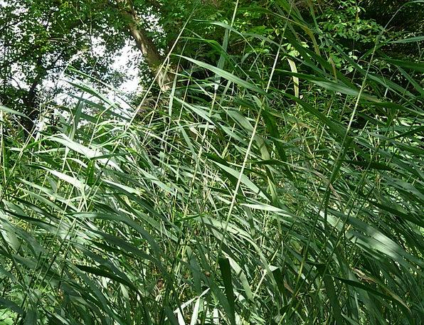 Reed Cane Phragmites Australis Ordinary Reed Phrag