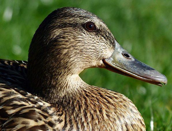 Mallard Bird Feminine Anas Platyrhynchos Female Bi