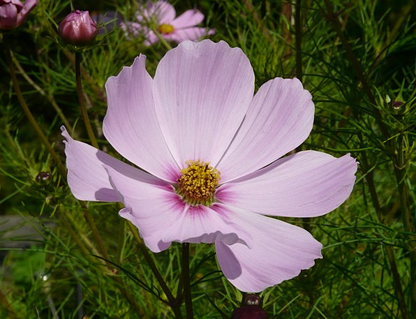 Cosmea Floret Light Pink Flower Bidens Formosa Lig