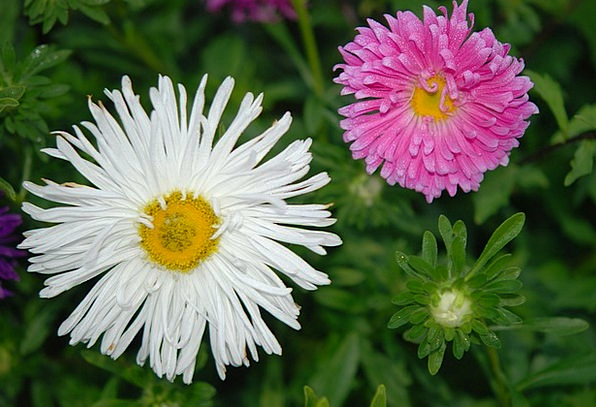 Flowers White Snowy Chrysanthemums Pink Flushed Pl