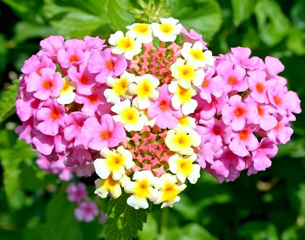 Lantana Camara Plants Pink Flushed Flowers Yellow