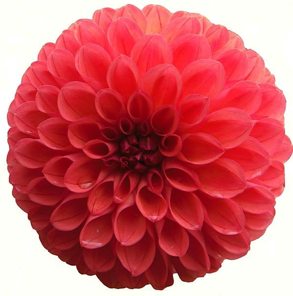 Dahlia Bloodshot Flower Floret Red Isolated Remote