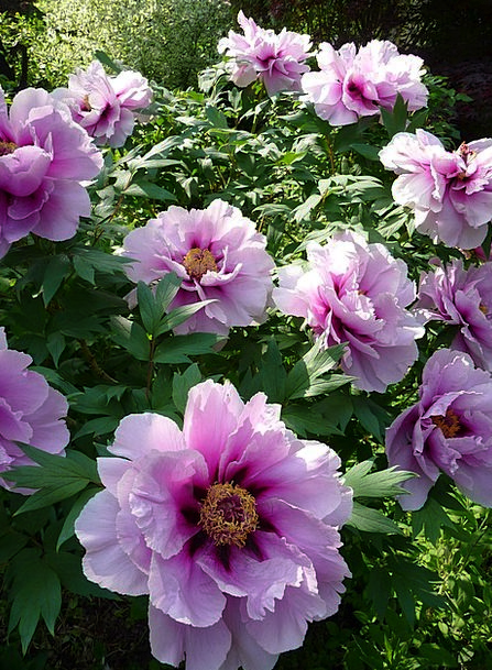 Flowers Plants Scrubland Peony Bush Lush Luxurious