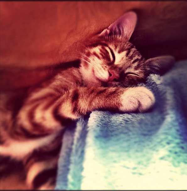 Cat Feline Sugary Sleep Slumber Sweet Cute Attract