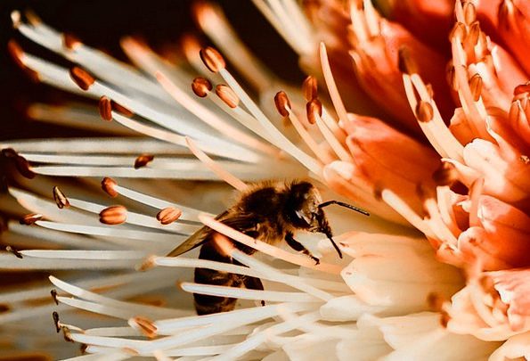 Bee Nature Countryside Insect Beekeeping Honey Dar
