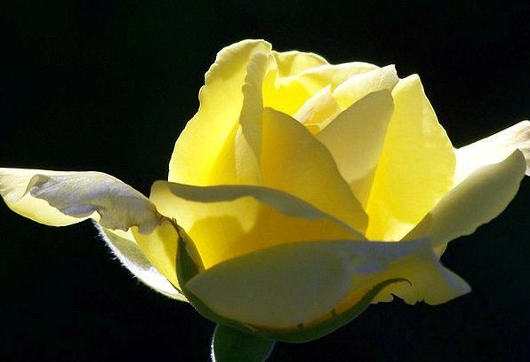 Yellow Creamy Designs Blooms Flowers Roses Black B