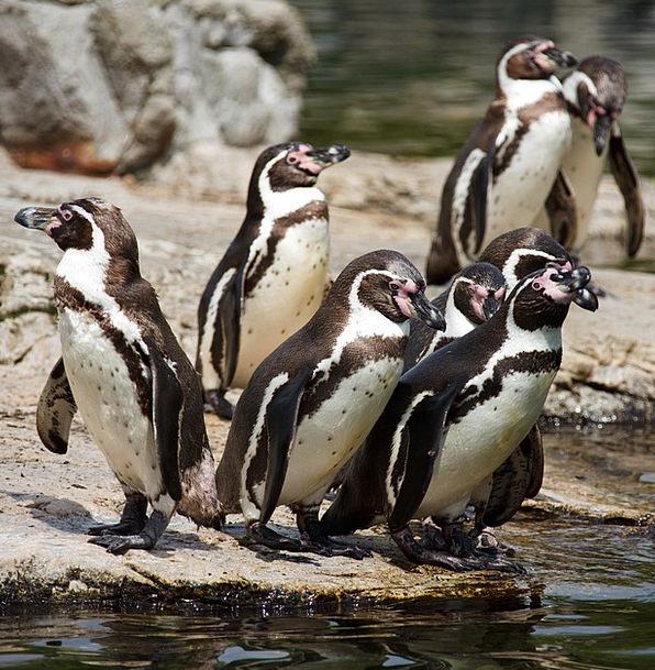 Animal Physical Faunae Bird Fowl Animals Penguin B