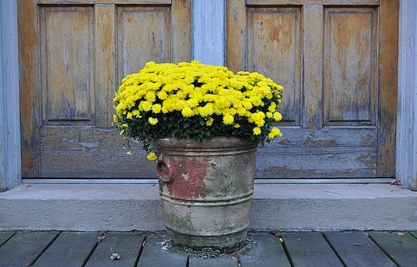 Chrysanthemums Creamy Flowers Plants Yellow Mums M