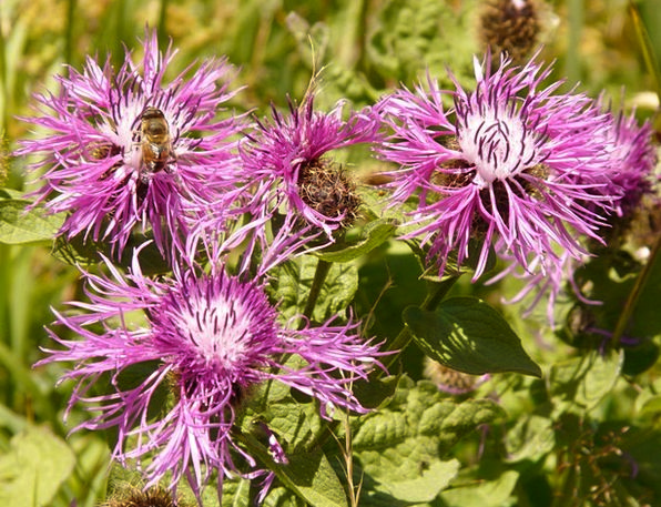Meadow Knapweed Landscapes Floret Nature Plant Veg