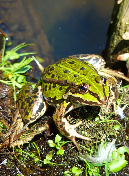 Frog Pond Amphibian Frog Green Lime Water Creature