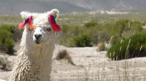 Llama Glama Funny Humorous Camelid Nature Animal P