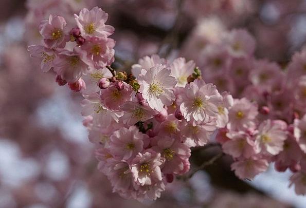 Cherry Blossom Floret Spring Coil Flower Flowers B