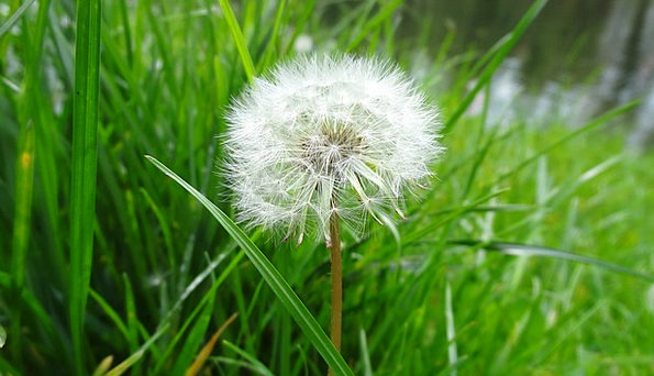 Dandelion Landscapes Vegetable Nature Grass Lawn P