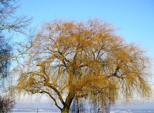Weeping Willow Landscapes Meadow Nature Tree Sapli