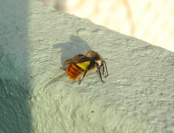 Nepal Hummel Bee Insect Bug Yellow Orange Creamy