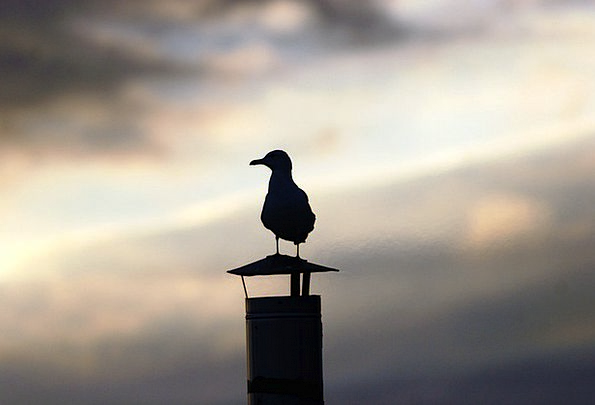 Seagull Physical Sunset Sundown Animal Backlight T