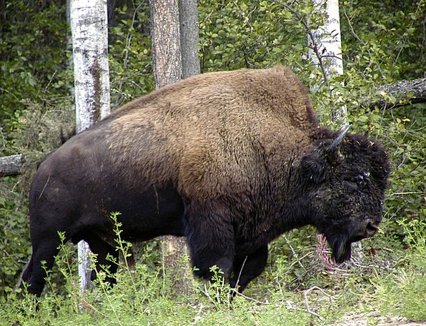 Bison Physical Wild Rough Animal Wildlife Nature A