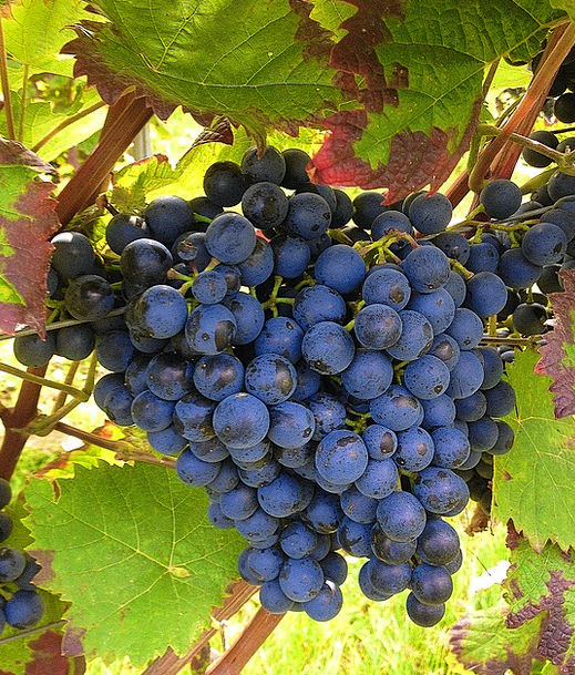 Grapes Azure Winegrowing Blue Vines Creepers Wine