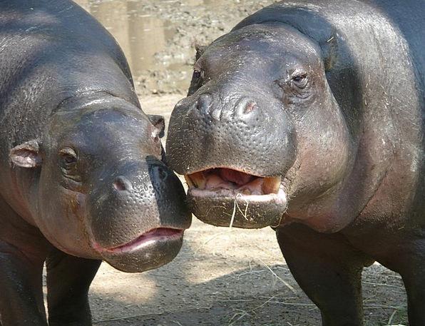 Hippo Menagerie Hippopotamus Zoo River Horse Anima