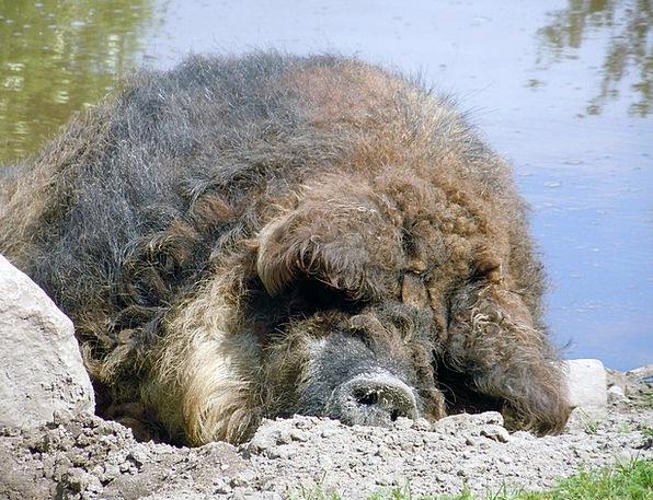 Wool Pig Glutton Sleeping Asleep Pig
