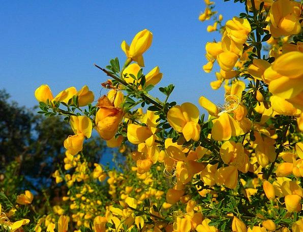 Broom Brush Landscapes Creamy Nature Flower Floret