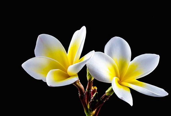Flower Floret Snowy Yellow Creamy White Apocynacea