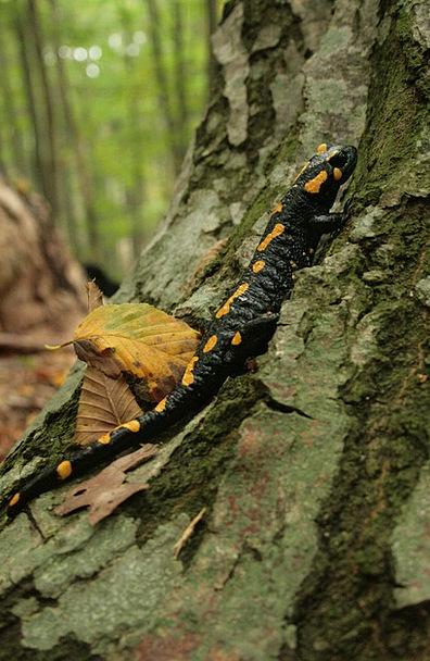 Fire Salamander Landscapes Nature Newt Salamander