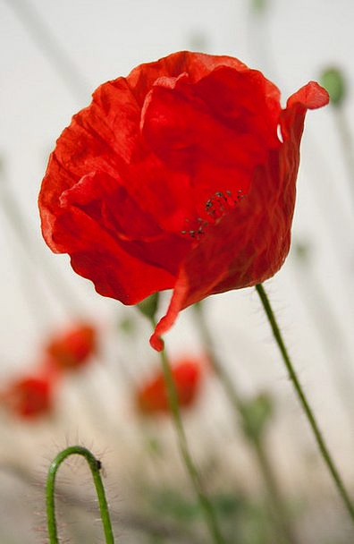 Flower Floret Poppy Bloom Red Bloodshot