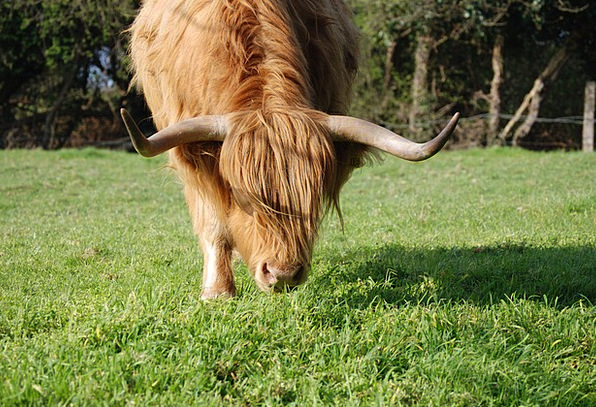 Highland Cattle Cows Cow Intimidate Cattle Hairy H