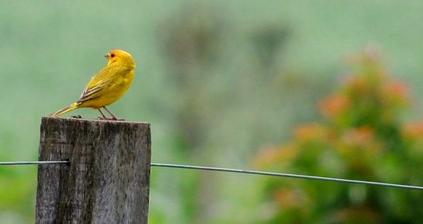 Nature Countryside Landscapes Fowl Nature Canary B