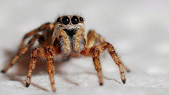 Spider Instruction Zebra Spider Macro Insect Bug A