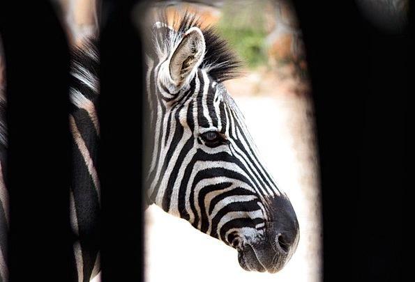 Zebra Floorings White Snowy Strips Nature Nero Sav