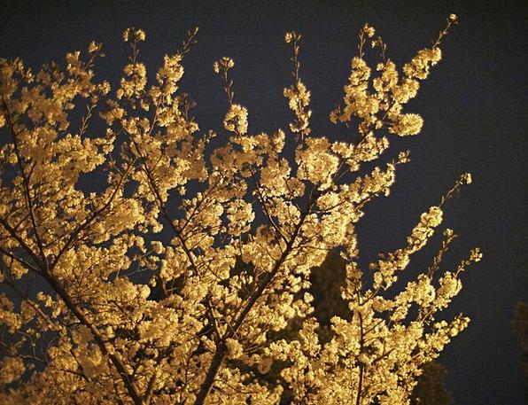 Cherry Blossoms Pink Night Nightly Cherry