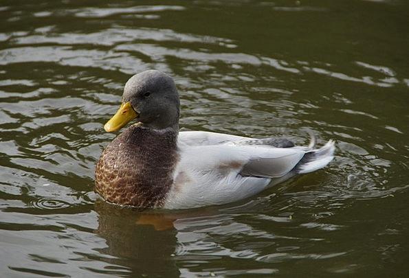 Duck Stoop Swim Dip Drake Bird Fowl See Water Wate