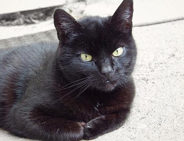 Cat Feline Dark Eyes Judgments Black Animal Physic