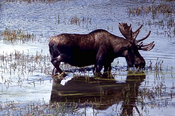 Moose Drinking Eating Deer Wild Solitary Lonely An