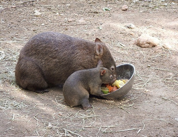 Wombat Physical Cute Attractive Animal Australia H