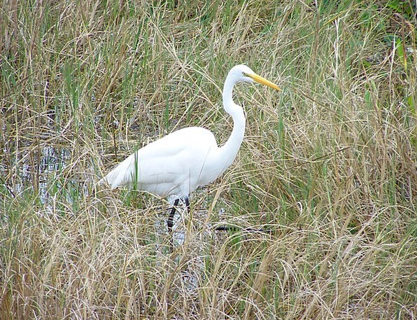 Egret Fowl Great Countless Bird Aves Large Big Wil