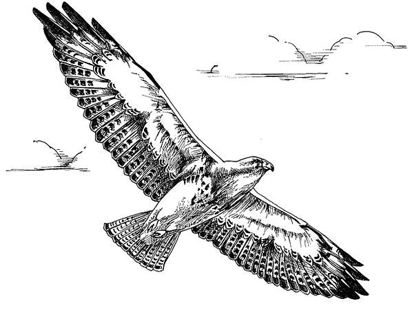 Flight Aeronautical Fowl Hawk Warmonger Bird Swain