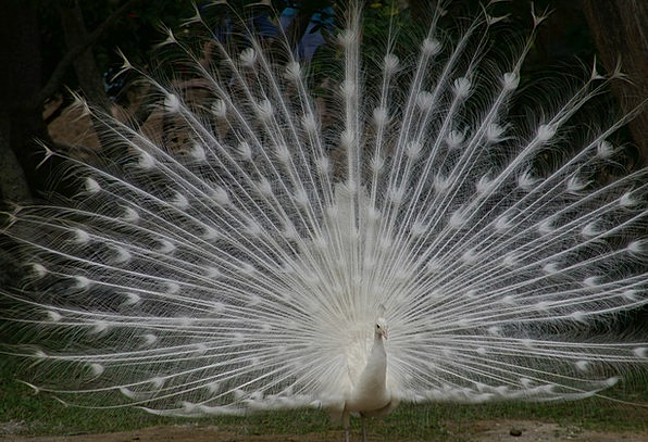 White Peacock Plumage Down Tail Spread Beauty Bird