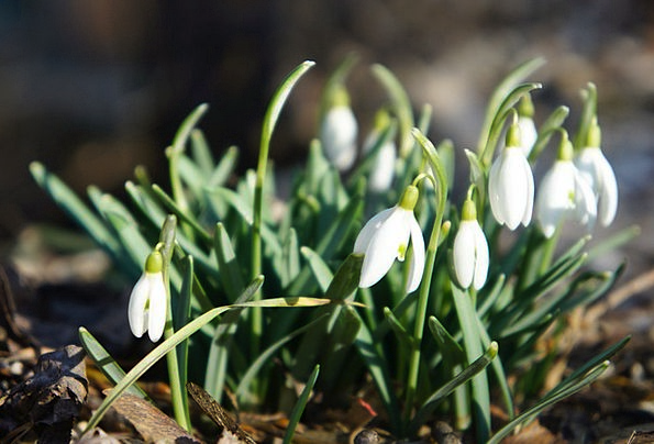 Snowdrop Landscapes Coil Nature February Spring Signs Of