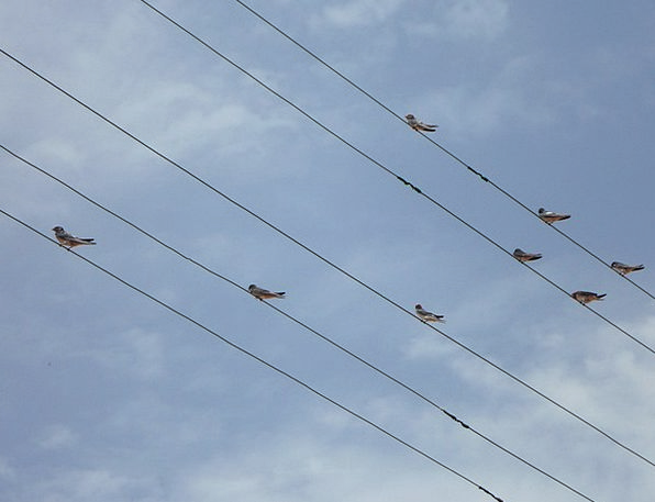 Swallows Gulps Lines Appearances Power Lines Distr