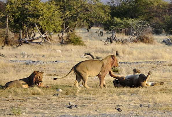 Lion Production Africa Play Animals Faunae Etosha
