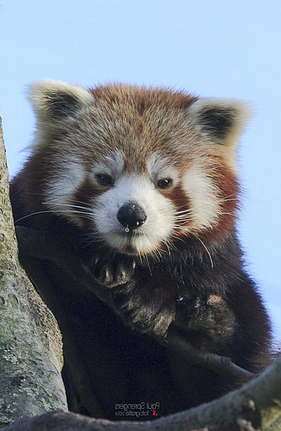 Red Panda Tolerate Zoo Menagerie Bear