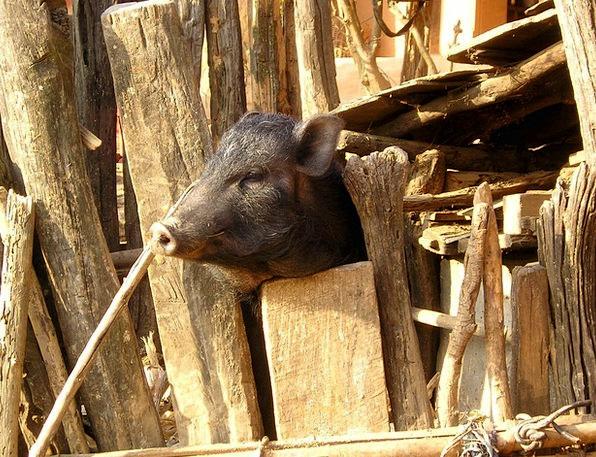 Nepal Glutton Piglet Pig Head Skull