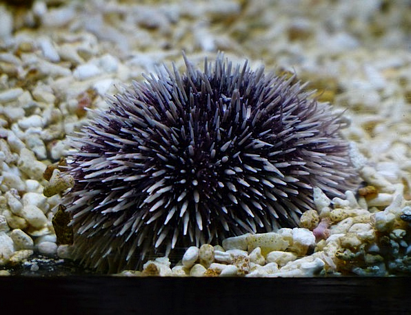 Sea Urchins Sphaerechinus Granularis Purple Sea Ur