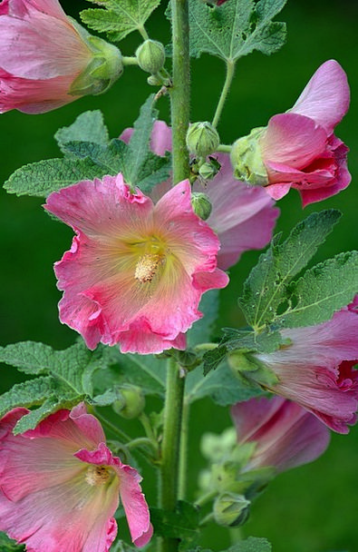 Stock Rose Flowers Plants Mallow Flower Floret Gar